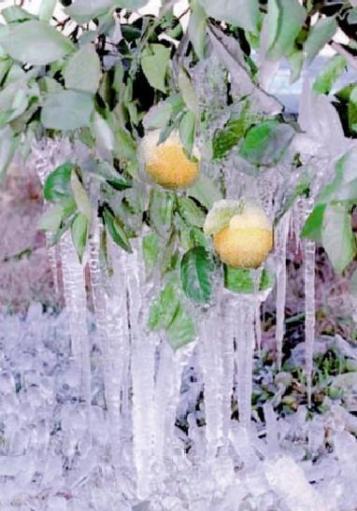 frozen_orange