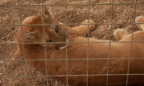 Cougar-Texas-081613_small