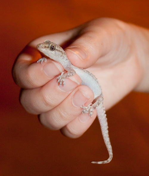 Gecko-by-Lemurita_small
