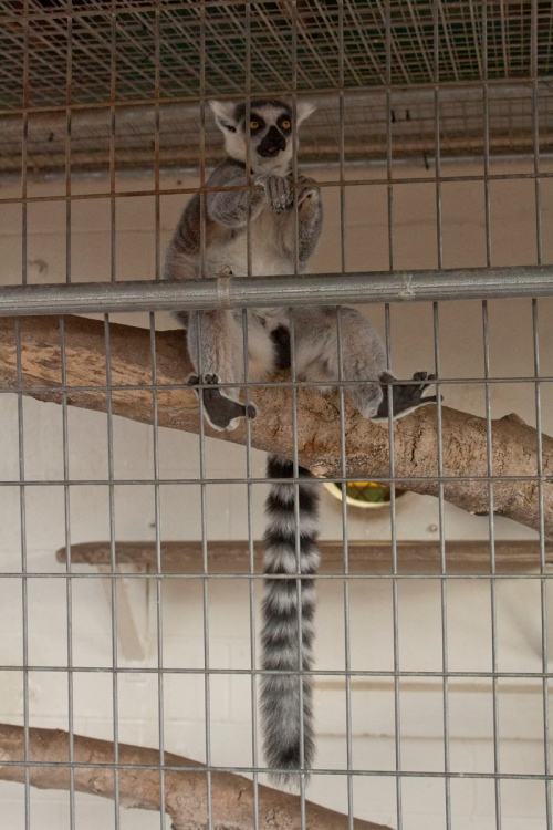 Lemur-in-Texas-2013