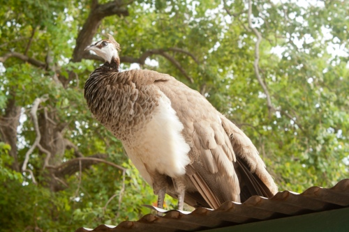 Peahen-Texas-081613_small